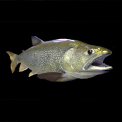 Lake Trout Reproduction