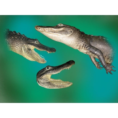 Complete Mounting of Alligator Heads and Half Mount